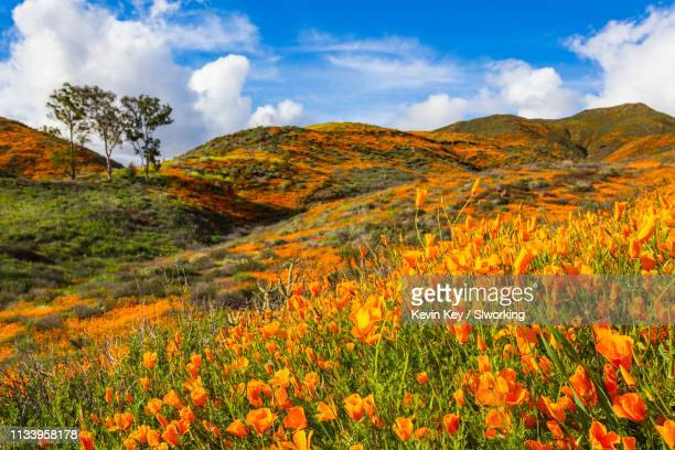 california poppies blooming in the hills of lake elsinore - lake elsinore stock photos and pictures