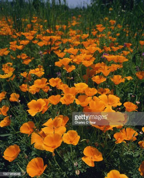 california poppies - eschscholzia californica - california golden poppy stock pictures, royalty-free photos & images