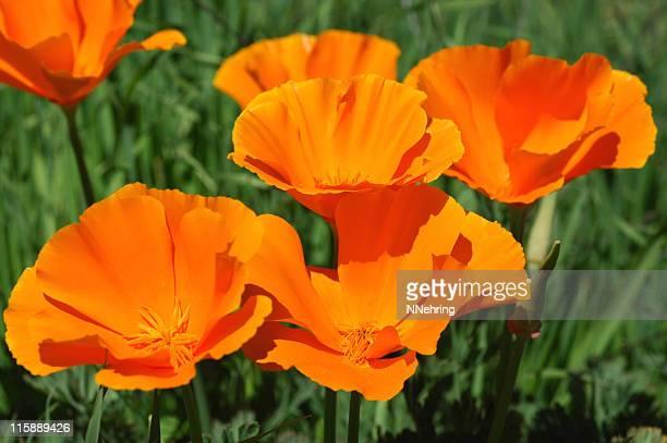 california poppies, eschscholzia californica - california golden poppy stock pictures, royalty-free photos & images
