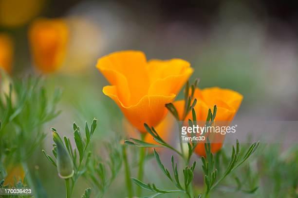 california poppies - terryfic3d bildbanksfoton och bilder