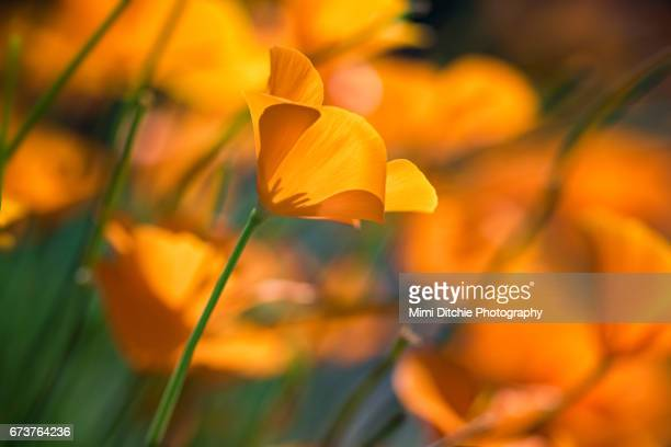 california poppies - california golden poppy stock pictures, royalty-free photos & images