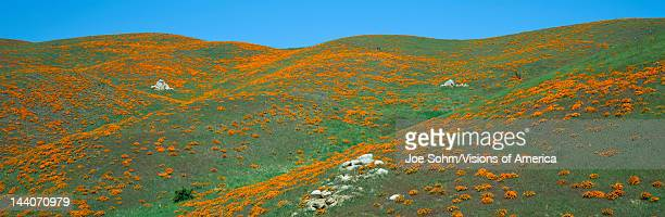 California Poppies Spring Wildflowers Antelope Valley California