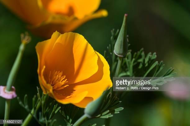 a california poppy (eschscholzia californica) blooming in a garden - california golden poppy stock pictures, royalty-free photos & images
