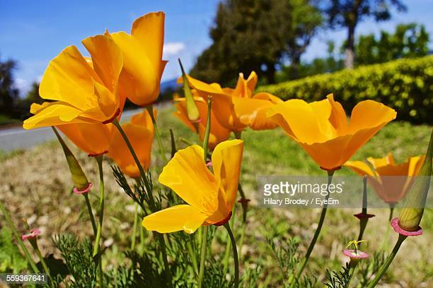 california poppy blooming in garden - california golden poppy stock pictures, royalty-free photos & images