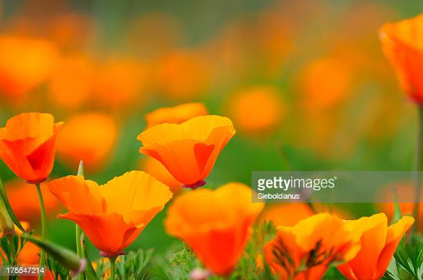 california poppy close-up. - california golden poppy stock pictures, royalty-free photos & images