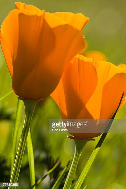 california poppy, close-up - california golden poppy stock pictures, royalty-free photos & images