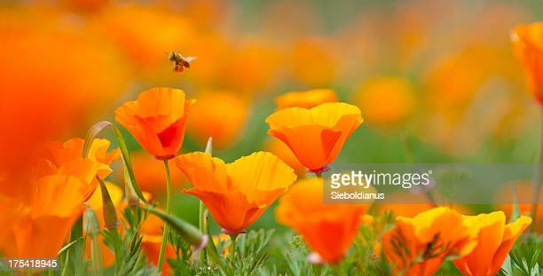 california poppy close-up with pollinating bee, panoramic image. - california golden poppy stock pictures, royalty-free photos & images