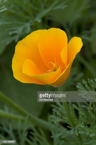 California Poppy, Eschscholtzia californica, Palo Alto, California, USA. The flowers close at night and on cloudy days. Often cultivated.