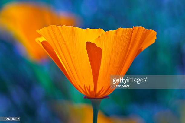 california poppy, eschscholzia californica - california golden poppy stock pictures, royalty-free photos & images