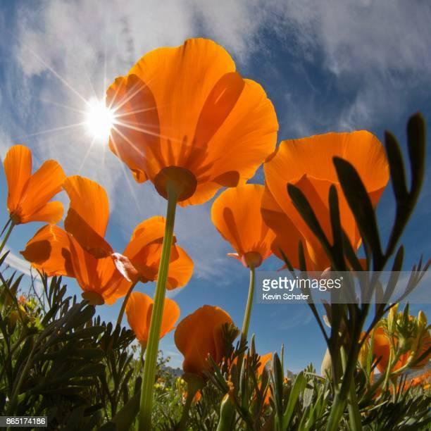 California Poppy flowers and sunburst, California