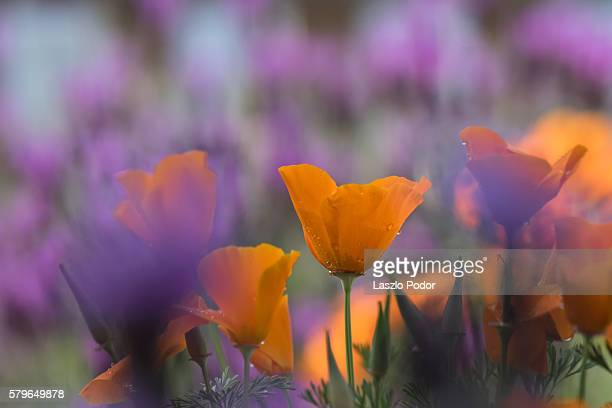 california poppy flowers - california golden poppy stock pictures, royalty-free photos & images