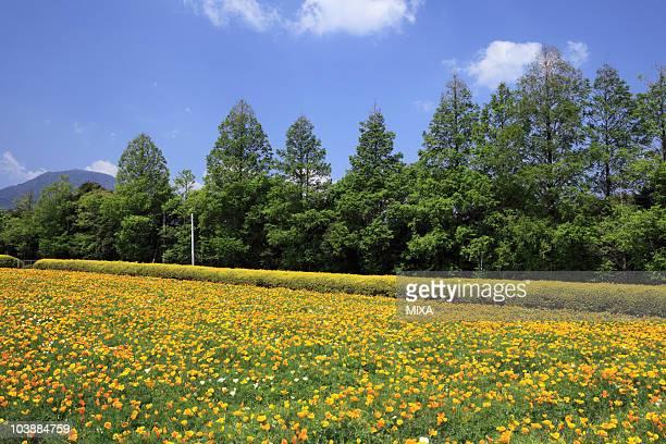 California Poppy in Ikoma Highland, Kobayashi, Miyazaki, Japan