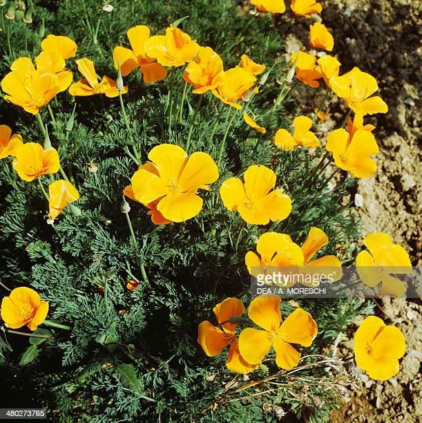 California poppy Papaveraceae