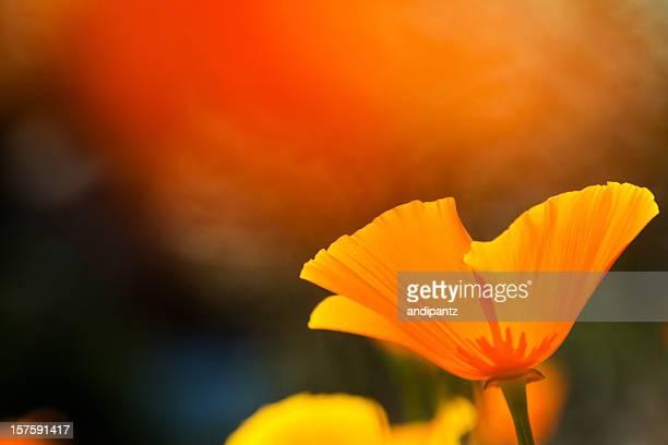 california poppy - california golden poppy stock pictures, royalty-free photos & images