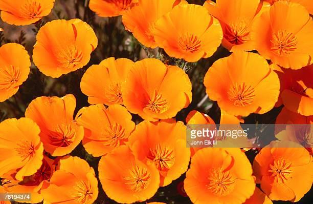 California Poppy Reserve, Antelope Valley, California, United States of America, North America