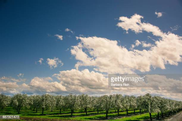California prune orchard in bloom under a big clouded blue sky