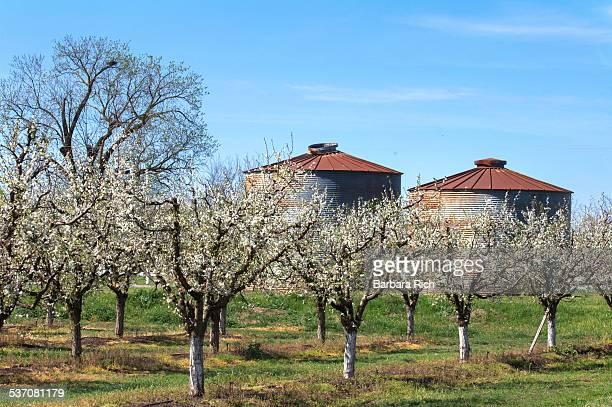 California prune orchard in bloom with storage bin