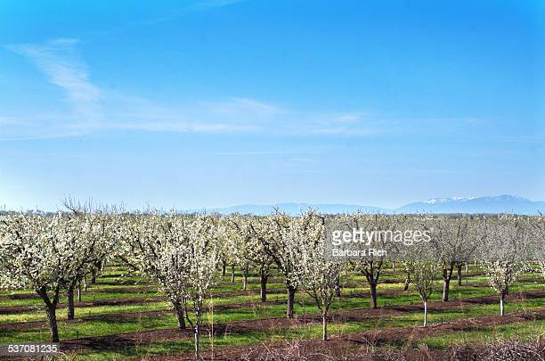 California prune orchard in full bloom