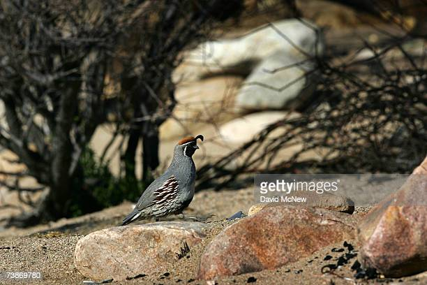 California quail forages among burned vegetation in Pipes Canyon Wilderness Preserve where recovery from a massive 2005 wildfire that killed most of...