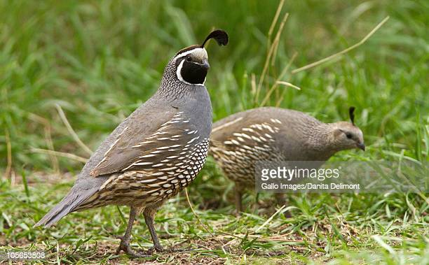 california quail (callipepla californica), malheur national wildlife refuge, oregon, usa - quail bird stock photos and pictures