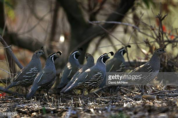 California quail move through the hills of the largest urban park in the nation Griffith Park which has had five wildfires since December May 14 2007...