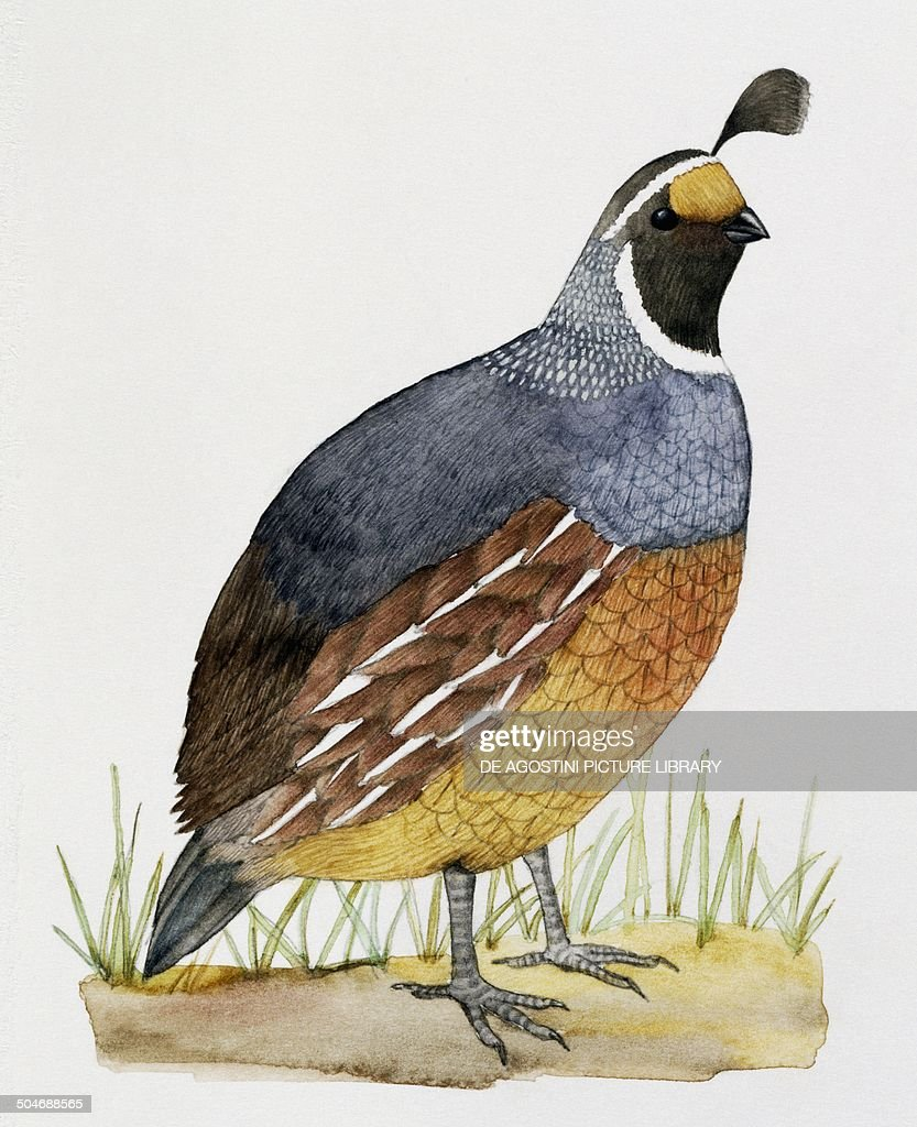 california quail or valley quail callipepla californica odontophoridae drawing