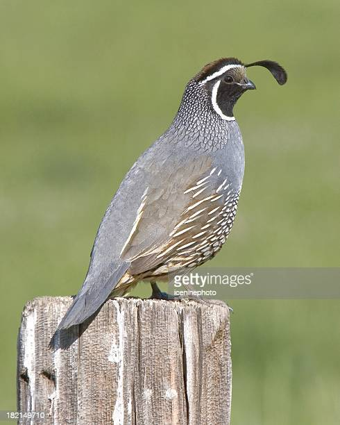 california quail - quail bird stock photos and pictures
