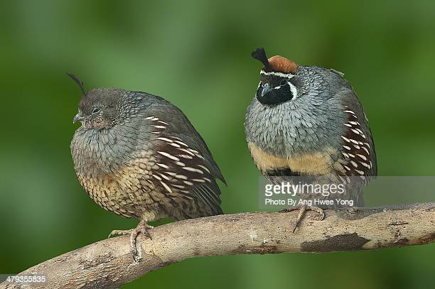 california quail (f/m) - quail bird stock photos and pictures