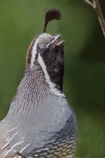 California Qual male calling close-up