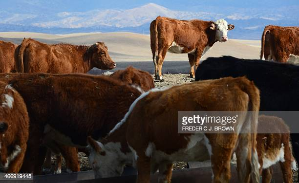 California rancher Nathan Carver's herd of Hereford cattle on a ranch which has been family owned for five generations on the outskirts of Delano in...