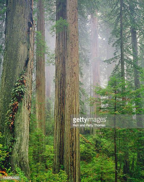 California Redwood Forest   (Pg)