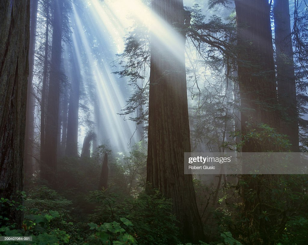 USA, California, Redwood National Park, sun rays in redwood forest : Stock Photo