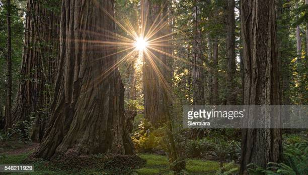 USA, California, Redwood National Park, Sunburst in the Stout Grove