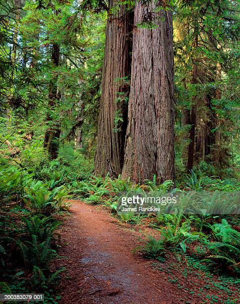 usa, california, redwood trees and western sword ferns beside trail - humboldt redwoods state park stock photos and pictures