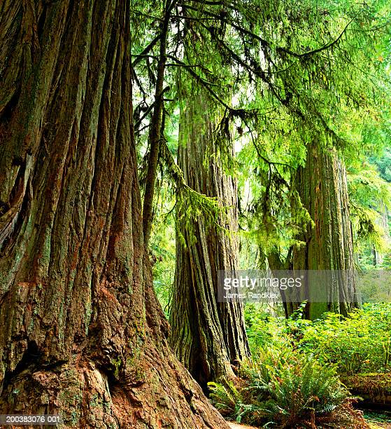 usa, california, redwood trees and western sword ferns in forest - humboldt redwoods state park stock photos and pictures