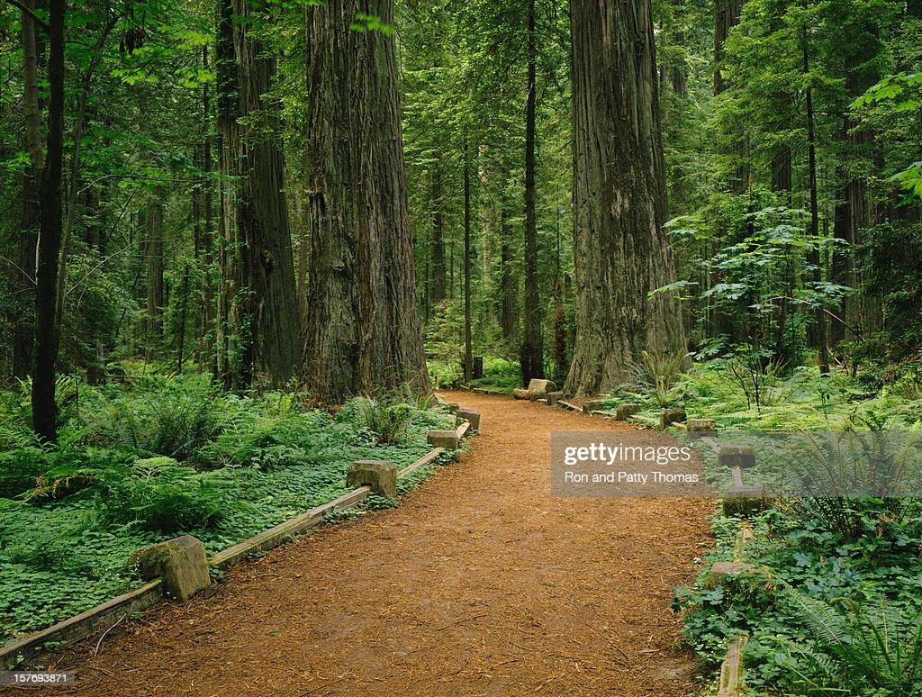 California Redwoods : Foto de stock