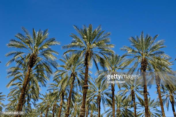 usa, california, salton sea, medjool date palm trees, low angle view - date palm tree stock pictures, royalty-free photos & images