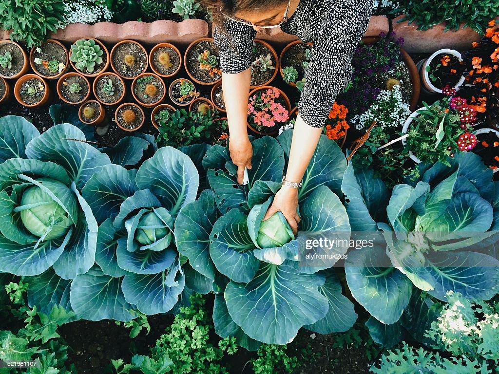 USA, California, Santa Clara County, Woman working in vegetable garden : Stock Photo