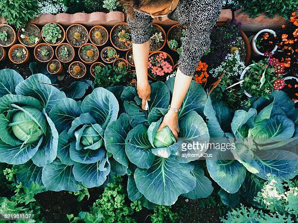 usa, california, santa clara county, woman working in vegetable garden - tuinieren stockfoto's en -beelden