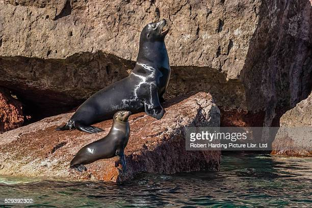 california sea lion bull and pup, zalophus californianus, hauled out on los islotes, baja california sur, mexico - baby seal stock photos and pictures