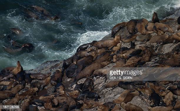 California sea lion colony Otariids or Eared seals surroundings of Florence Oregon United States of America