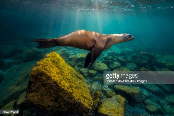 California sea lion in Isla Mujeres, Mexico.