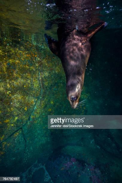 california sea lion in isla mujeres, mexico. - mujeres fotos stockfoto's en -beelden