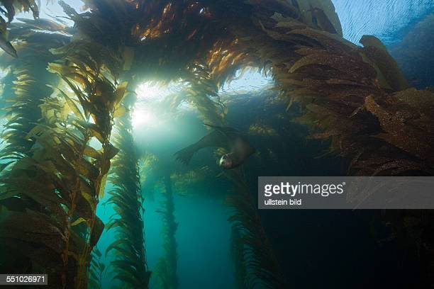 California Sea Lion in Kelp Forest Zalophus californianus Cedros Island Mexico