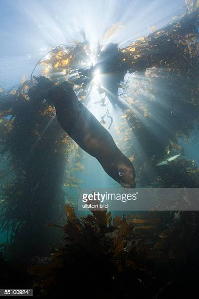 California Sea Lion in Kelp Forest Zalophus californianus San Benito Island Mexico