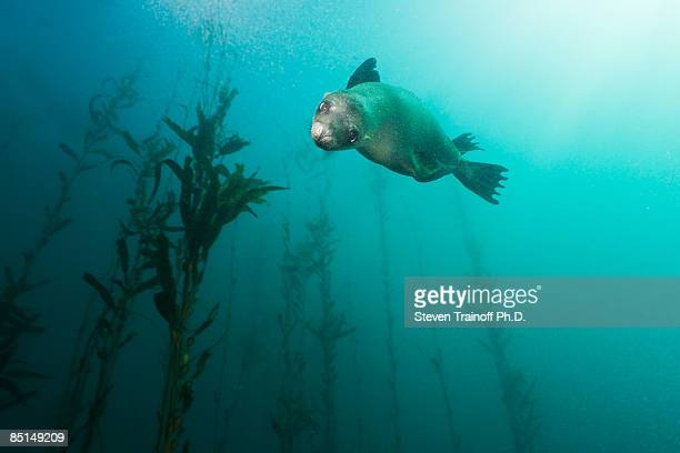 California Sea Lion in Kelp
