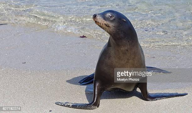 california sea lion - foca imagens e fotografias de stock