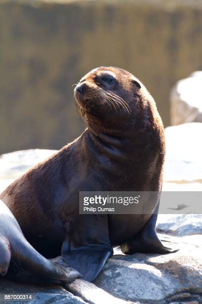 california sea lion (zalophus californianus) pup - baby seal stock photos and pictures