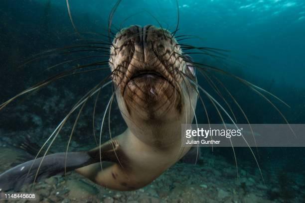 California Sea Lion sniffs a camera lens in Mexico