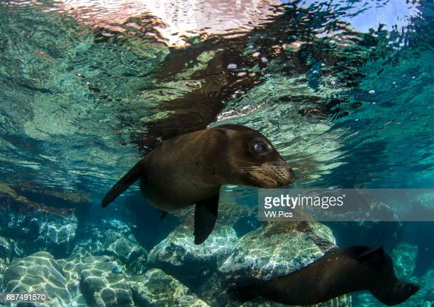 California sea lion Zalophus californianus swimming at surface and reefscape in front at Los islotes near La Paz Baja California sur at the sea of...